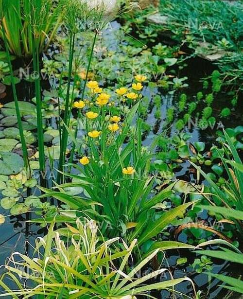 Fleurs cultivées : La petite et le grande douve