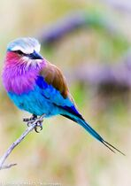 Lilac Breasted Roller. Pretty