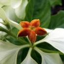 La minuscule fleur au coeur de l'inflorescence - Photo : Caro