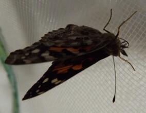naissance d'un papillon