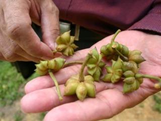 Anis étoilé (Illicium verum) - Fruits encore verts