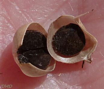 Convolvulus cantabrica - liseron cantabrique - liseron de Biscaye