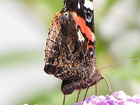 les-papillons-5524.JPG