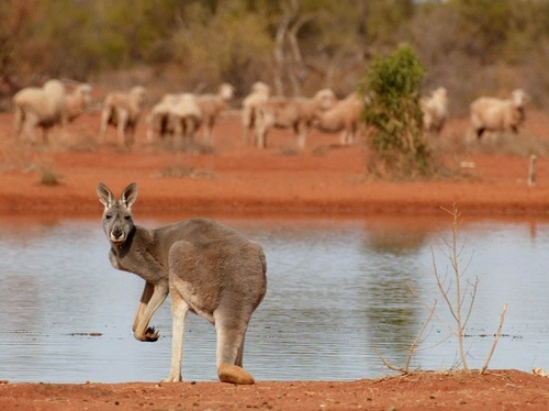 Le blé OGM provoque la mort de 21 millions de kangourous