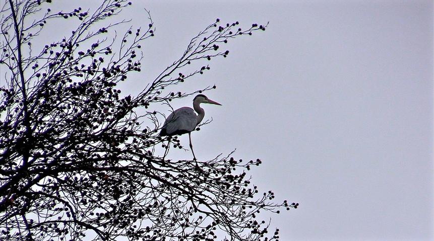 Portrait d'oiseau (4) : le héron cendré
