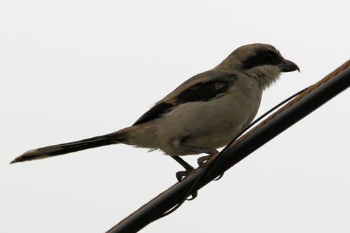 Pie-grièche méridionale (Southern Grey Shrike)
