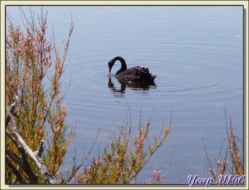 Cygne noir (Cygnus atratus) - Ars-en-Ré - Ile de Ré - 17