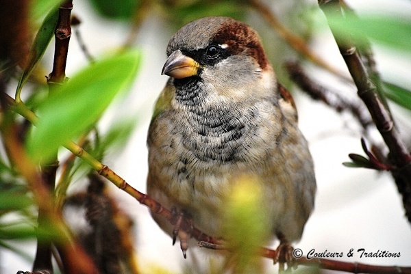 Simple moineau - Passer domesticus