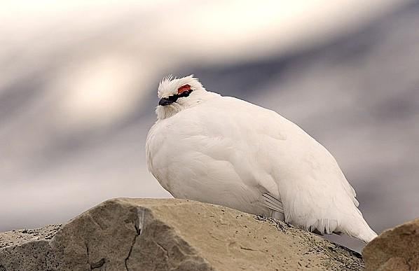 800px-Svalbard rock ptarmigan svalbardrype pho w 5266