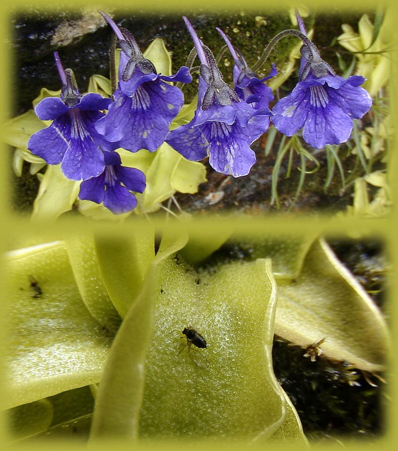Grassettes en fleurs
