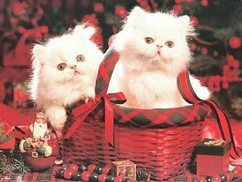 Fond-ecran--Deuc-chatons-de-noel.jpg
