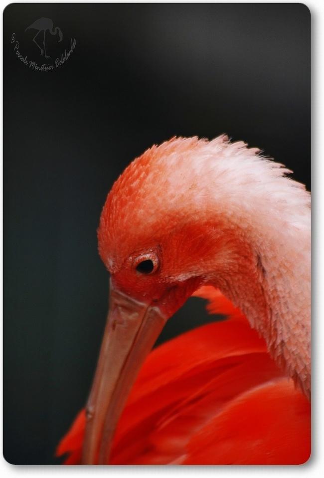 Portraits d'Ibis rouge...