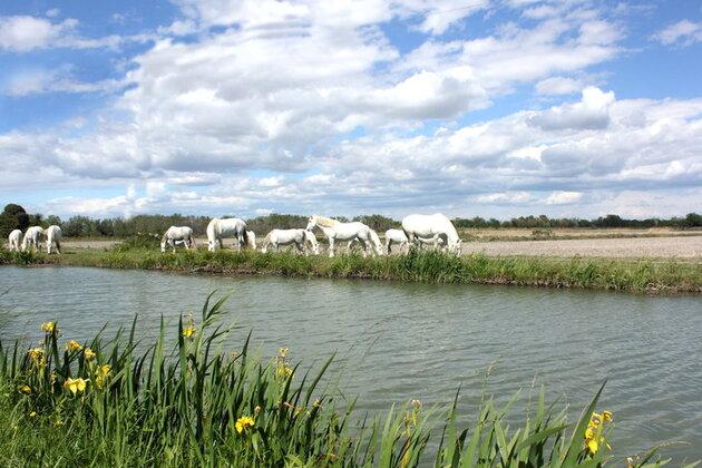 Les chevaux de Camargues