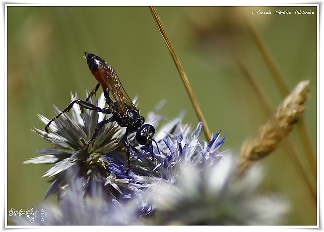 Ammophila pubescens - Guêpe fouisseuse