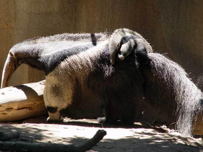 Femelle tamanoir et son petit