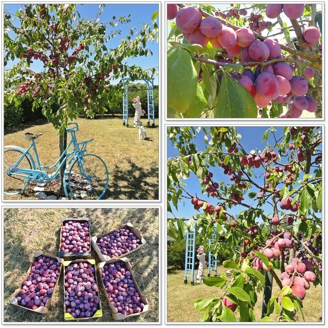 Les prunes du jardin