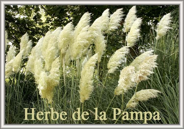 Fleurs cultivées / Herbe de la Pampa