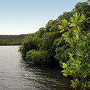 La mangrove - Photo : Edgar