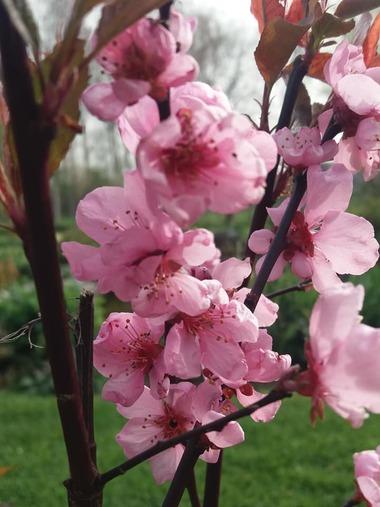 Début avril au jardin! 1ers bougeons, 1ères floraisons! (1ère partie)