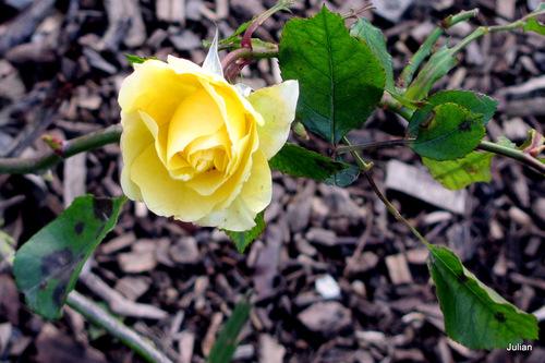 Les roses de janvier !