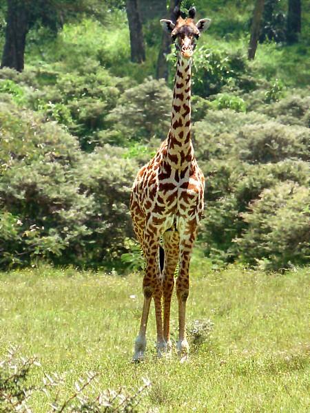 girafe regarde