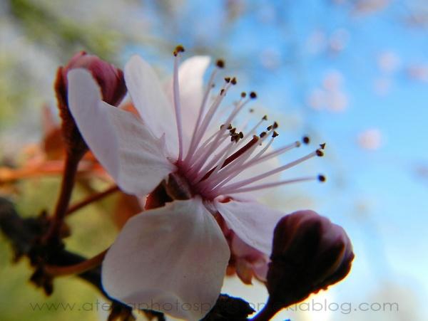 Fleurs de ceriseir Japonais