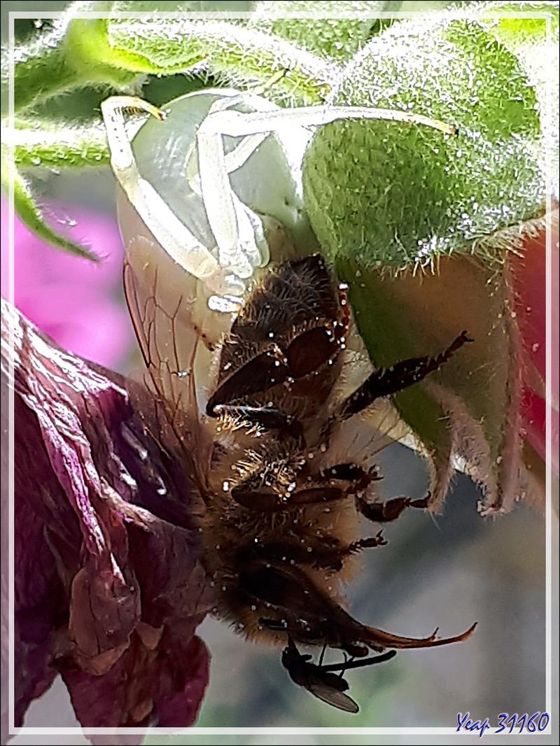 Araignée crabe Thomise variable : elle reste désespérément blanche ... - Lartigau - Milhas - 31