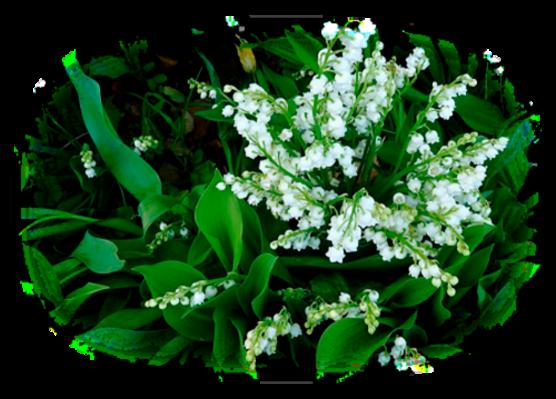 Muguet brin ou bouquet
