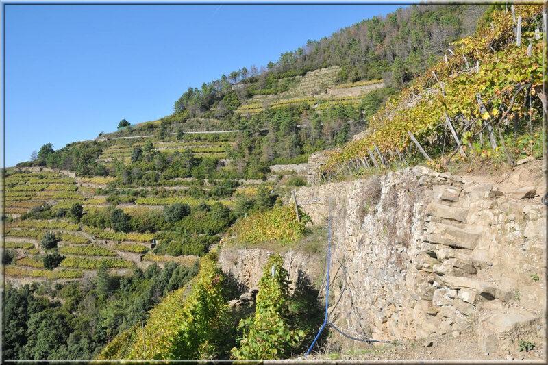 Italie, les 5 Terres : vignoble sur le sentier N°6