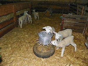 Moutons Régine