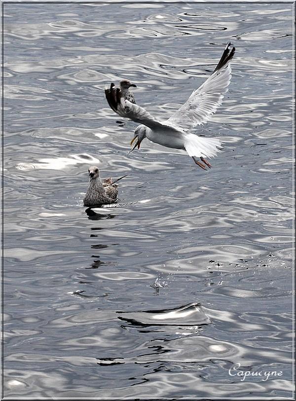 Sortie en mer : 2- les goélands