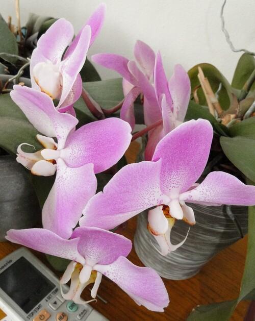 Orchidées, suite