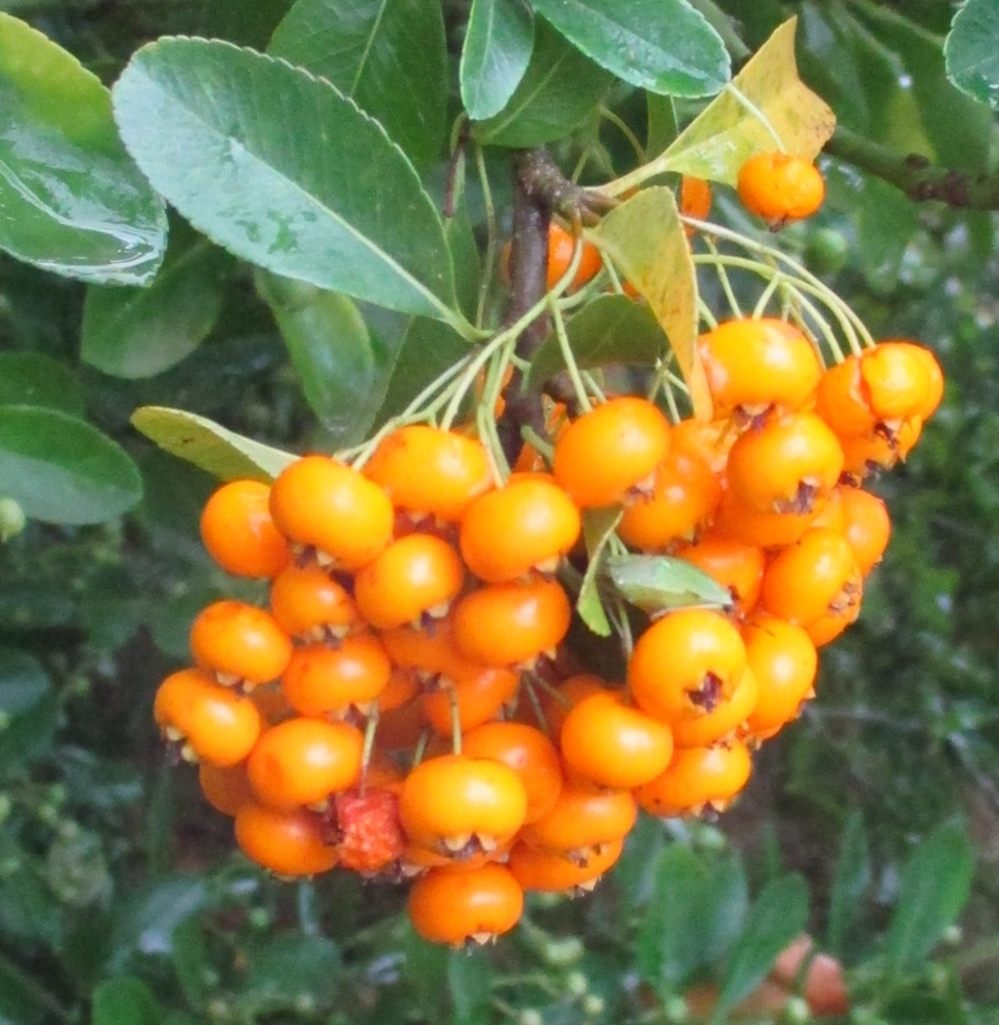 Le buisson ardent (Pyracantha)