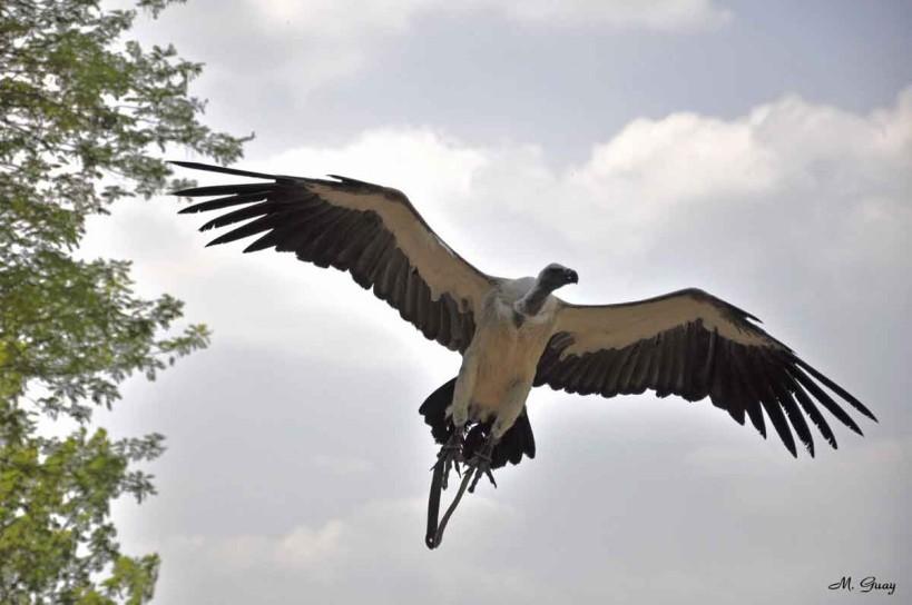 vautour-fauve-0004.jpg