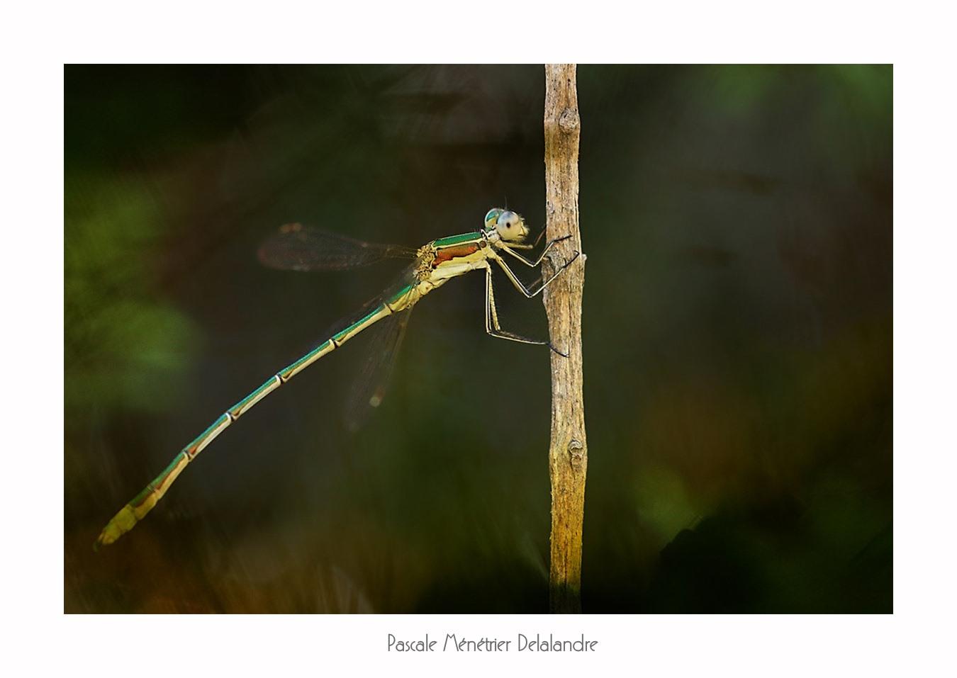 Leste verdoyant  (Lestes virens)