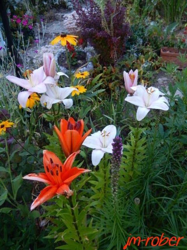 Jardin .Mon petit tour le matin au milieu des fleurs le visite continue