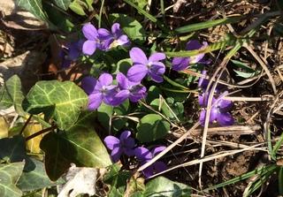 premières violettes de printemps