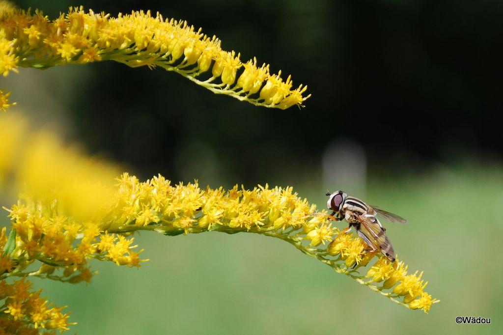 l'Hélophile suspendu  (Helophilus pendulus)  femelle  Syrphidae