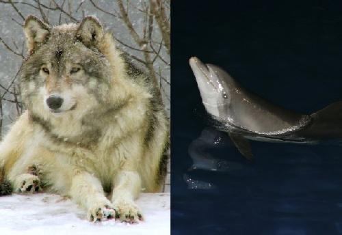 Loup gris des Etats-Unis et dauphin aveugle du Pakistan