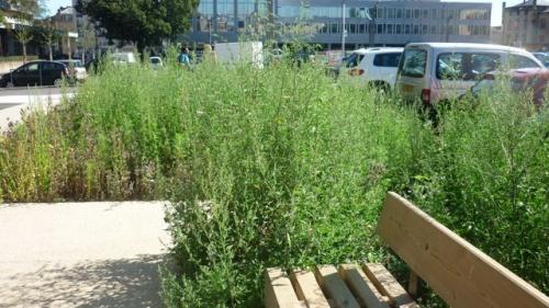 Herbes folles place Coislin (11 septembre 2011)