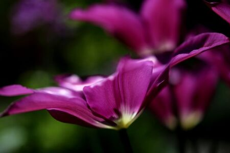 Tulipes 2015 : Purple Dream
