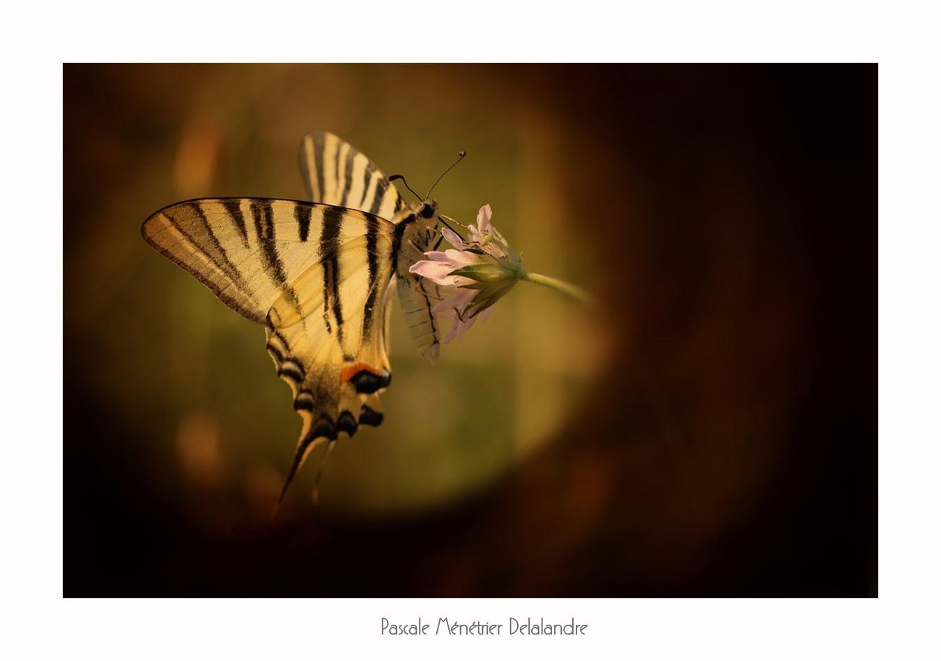 Jeux d'ombre et de lumière sur les Lépidoptères.