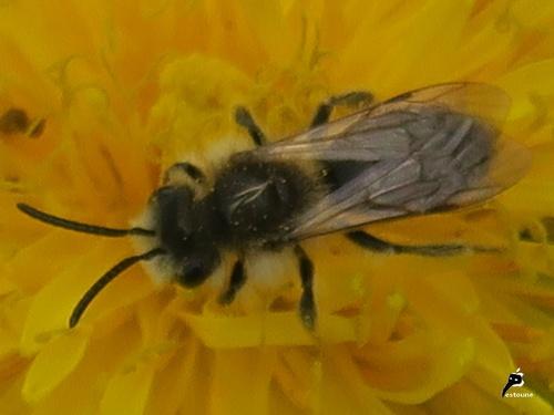 Andrènes (Andrena) ou abeilles des sables