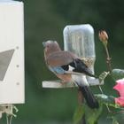 Mes oiseaux ...Un couple de geais fréquentait notre hameau cette année-là.