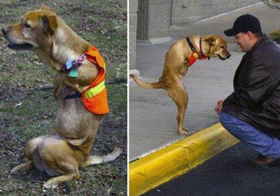 L'histoire émouvante de Faith, chien né sans pattes avant
