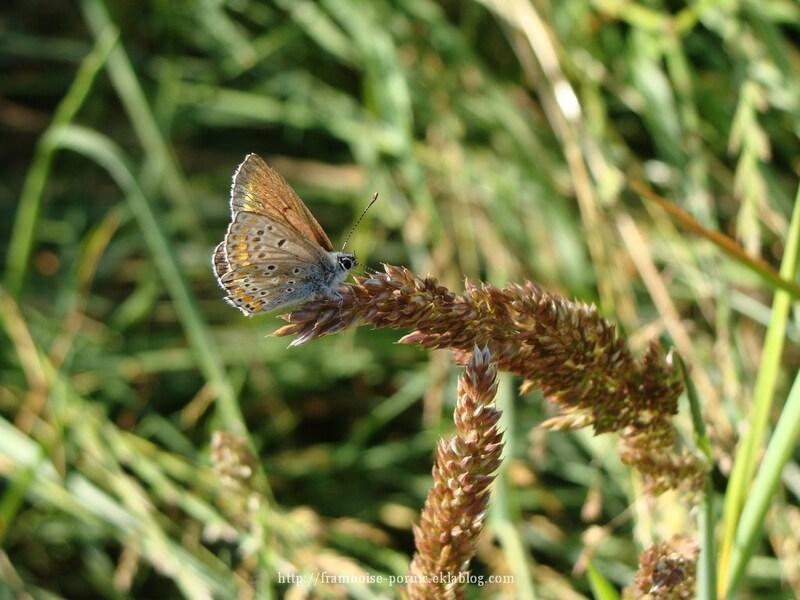 Papillon Argus bleu ou  Azuré  commun