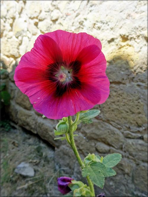 Photo de rose trémière (fleur-flore)