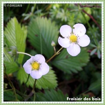 Fraisier des bois-Fragaria vesca