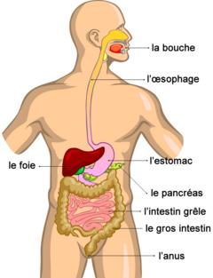 """Résultat de recherche d'images pour """"système digestif"""""""