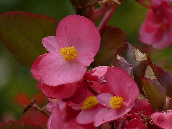 Bégonias-fleurs